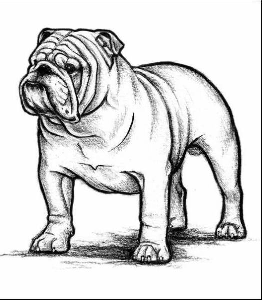 How to draw a bulldog mascot